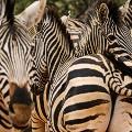 Zebra,-Welgevonden