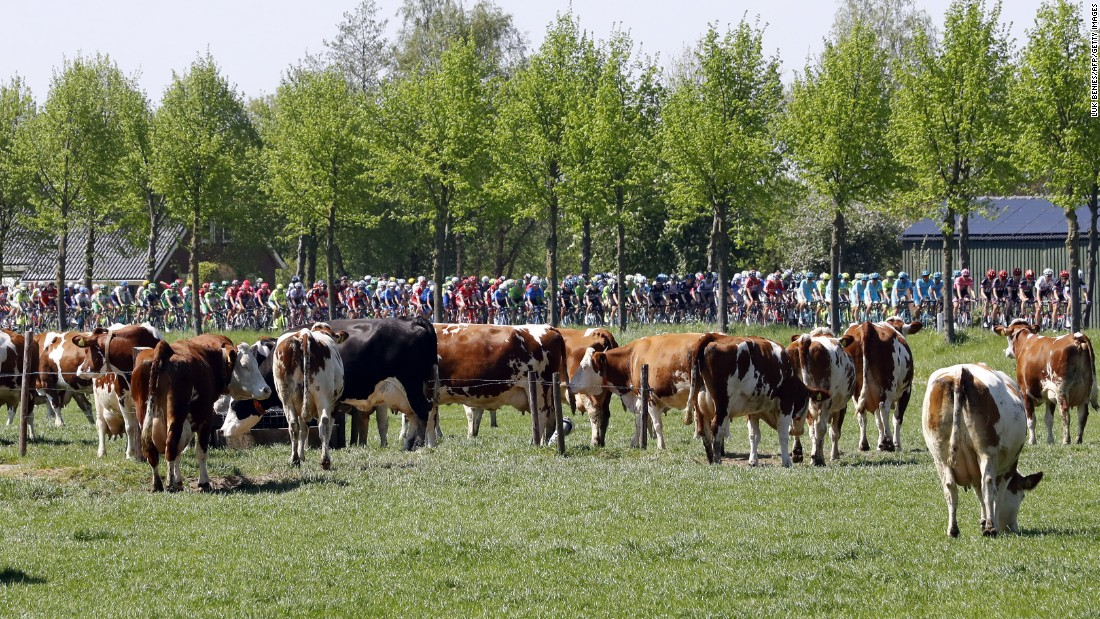Riders compete next to cows, during the third stage of the Giro d'Italia, in Nijmegen on May 8.