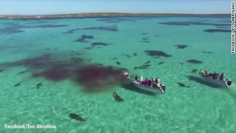cnnee vo tiburones se alimentan en florida dron graba _00000104