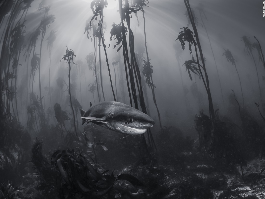 "This seven gill shark was photographed by Tracey Jennings in a kelp forest just off the shore of Simonstown near Cape Town. (<a href=""http://travel.nationalgeographic.com/photographer-of-the-year-2016/"" target=""_blank"">Click here to enter NatGeo photo contest</a>)"