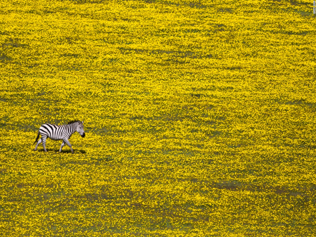 "Yuval Ofek grabs a moment of striking contrast as a solitary zebra trots across a landscape of yellow flowers. (<a href=""http://travel.nationalgeographic.com/photographer-of-the-year-2016/"" target=""_blank"">Click here to enter NatGeo photo contest</a>)"
