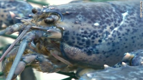 blue lobster caught canada pkg_00000120.jpg