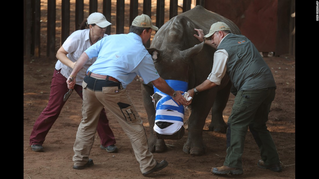"A rhino named Hope is bandaged after surgery in Bela-Bela, South Africa, on Friday, May 20. She survived a horrific attack by poachers <a href=""http://www.cnn.com/2015/08/15/africa/south-africa-wounded-rhino/"" target=""_blank"">who hacked off her horns and part of her face last year.</a>"