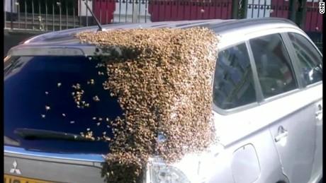 cnnee vo rec enjambre de abejas buscan a su reina _00000405