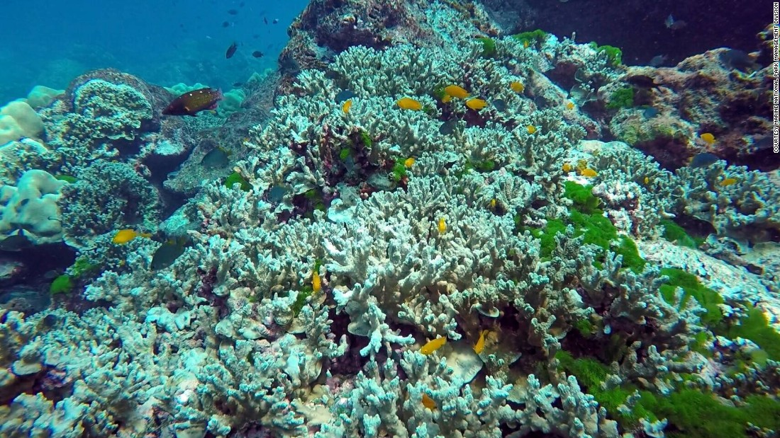 coral reefs and bleaching phenomenon The latest coral bleaching, a phenomenon that can result in coral dying off, is part of a larger event that has damaged the world's largest reef over the past two years global warming is .