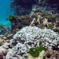 01 coral bleaching