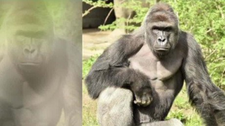 Did gorilla have to die?