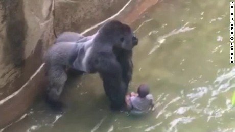 The 3-year-old boy fell into the moat, and the gorilla dragged him through the water.