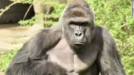 Cincinnati Zoo stands by decision to kill gorilla