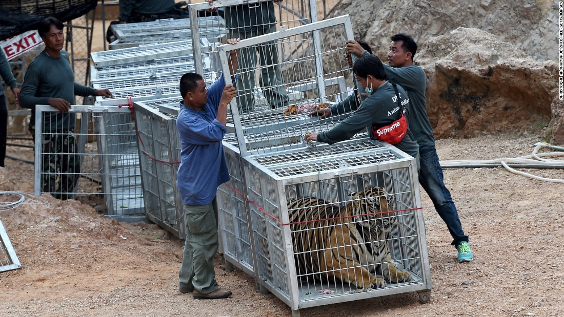 Thai wildlife officials use a tunnel of cages to capture a tiger and remove it from the temple on Monday, May 30.