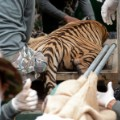 tiger temple confiscation 3