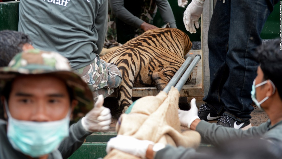 Thai wildlife officials load a sedated tiger into a cage on a truck.