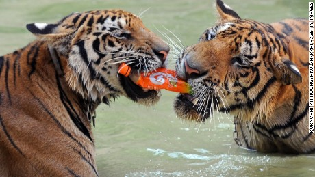 The temple's tigers seen playing with a water bottle. The sanctuary had received criticism over the welfare of the animals.
