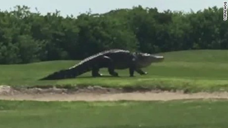 Gigantic gator spotted on golf course