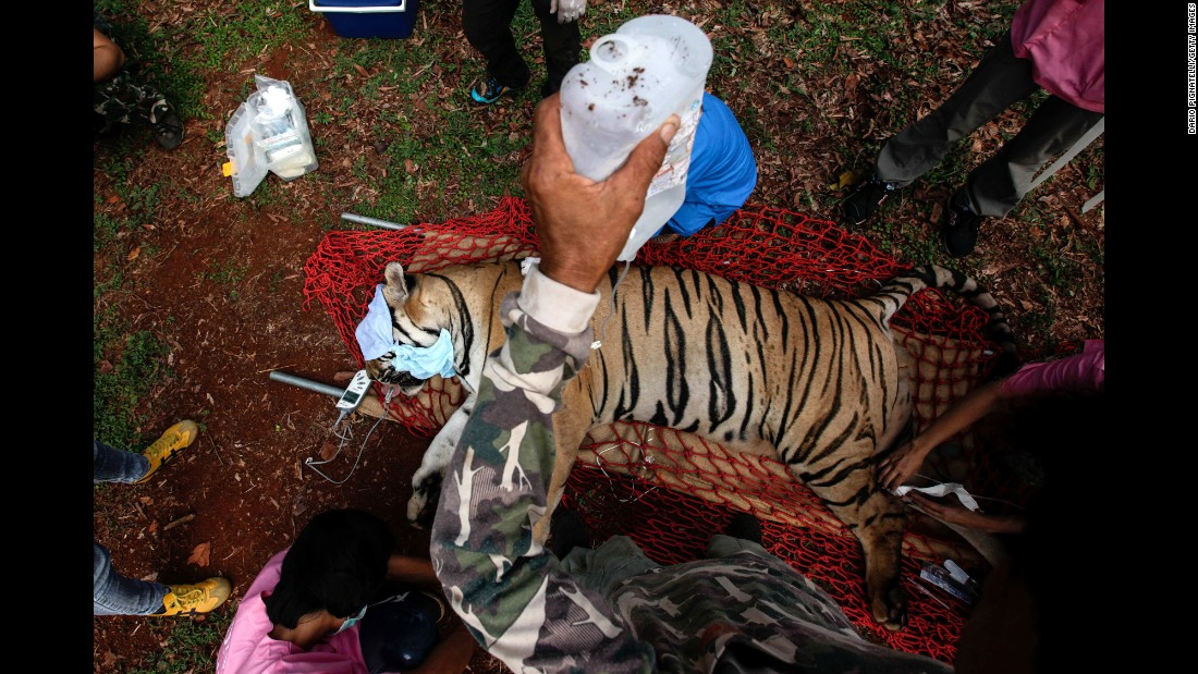 "Veterinarian officers with Thailand's Department of National Parks, Wildlife and Plant Conservation tend to a sedated tiger at the controversial ""Tiger Temple"" in Kanchanaburi province on Wednesday, June 1. <a href=""http://www.cnn.com/2016/06/01/asia/thailand-tiger-temple-cub-bodies-found/"">Authorities raided the compound </a>over concerns about the welfare of the animals and complaints from tourists."