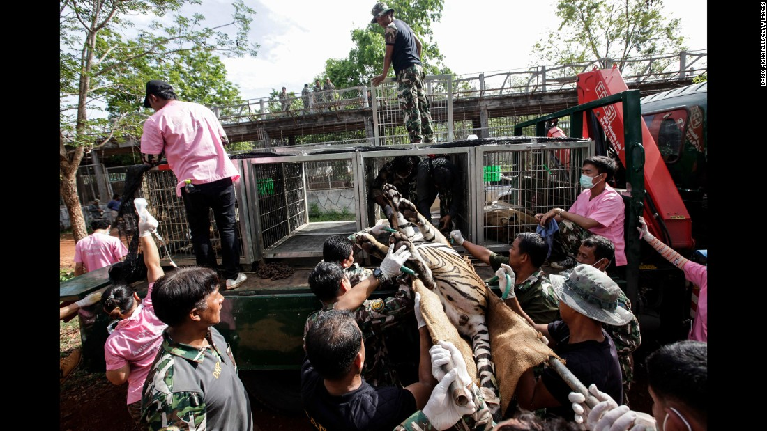 Thai officers load a sedated tiger onto a truck on June 1.