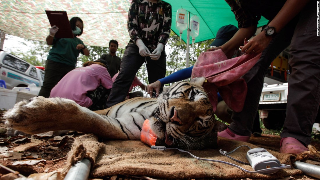 Veterinarian officers tend to a sedated tiger on June 1.