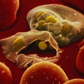Malaria merozoites red blood cells