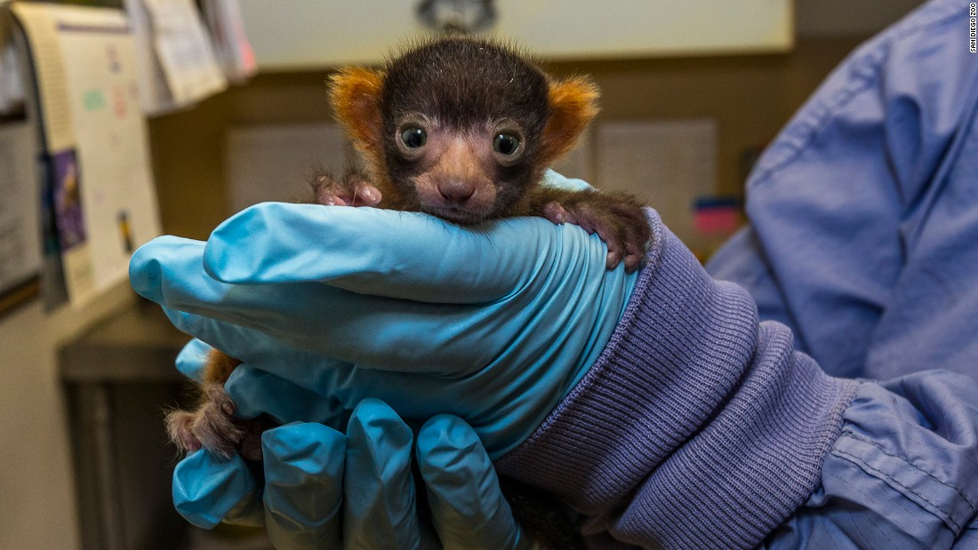 A red ruffed lemur was born at the San Diego Zoo in May. It has been 13 years since the last red ruffed lemur was born at the zoo. The rare species is only found in one region in the entire world: the Masoala Peninsula in Madagascar.
