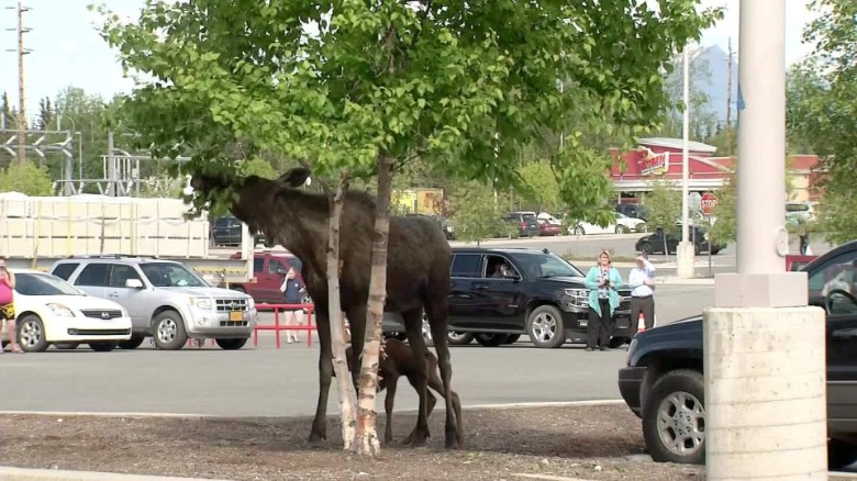 Moose gives birth in Lowe's parking lot