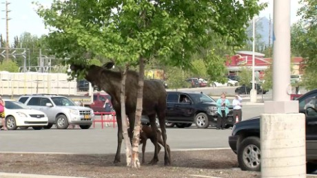Moose Birth Parking Lot pkg_00010716