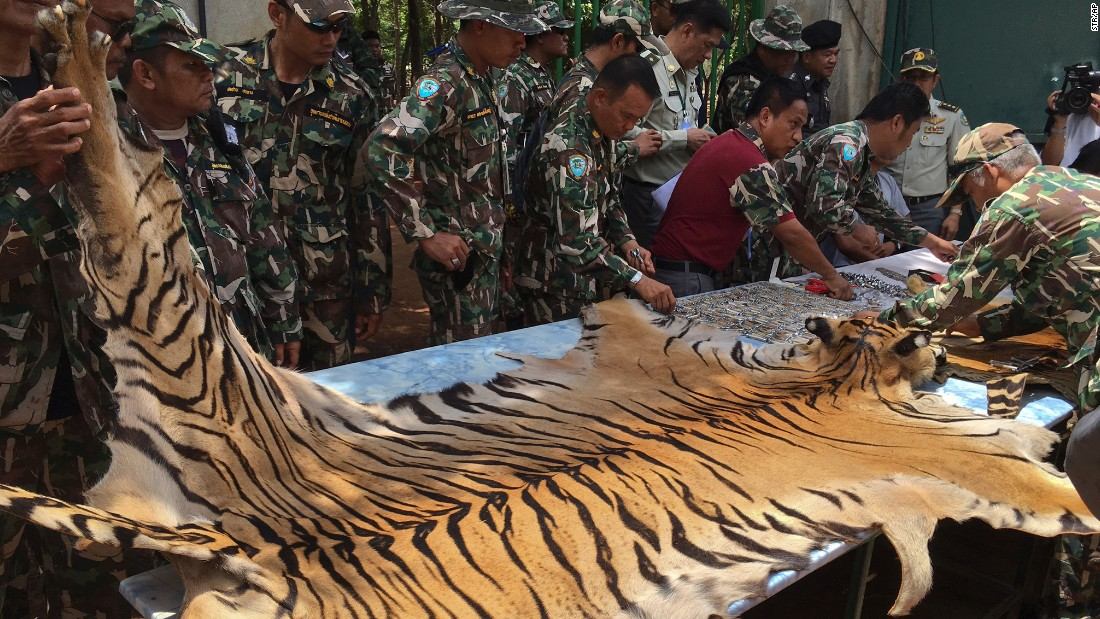 "National Parks and Wildlife officers examine a tiger  skin at the ""Tiger Temple,"" west of Bangkok, Thailand on Thursday, June 2. Thai police say they stopped a truck carrying two tiger skins and other animal parts as it was leaving the temple. Two staff members were arrested and charged with possession of illegal wildlife."