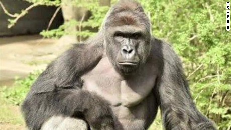 exp Cincinnati gorilla incident: eyewitness account_00002001
