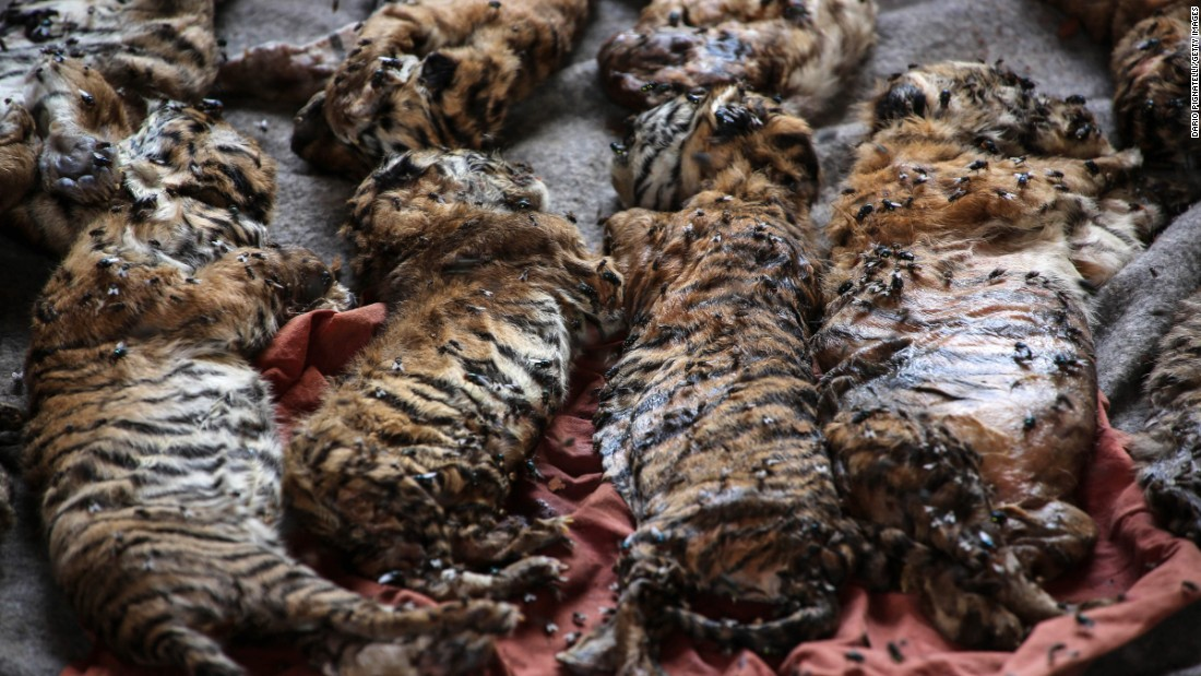 "<strong>May 30:</strong> After the remains of 40 newborn tiger cubs were found in freezers at a Buddhist temple in Thailand's Kanchanaburi Province, <a href=""http://www.cnn.com/2016/06/01/asia/thailand-tiger-temple-cub-bodies-found/"" target=""_blank"">authorities started removing live tigers from the temple.</a> The Wildlife Conservation Office was investigating the motives behind the temple storing the bodies and looking into the possibility that it was smuggling tiger parts, the organization's director told CNN. The ""Tiger Temple"" has long been popular with tourists who could walk among live tigers and pose for photos. The temple has said it is a sanctuary for wild animals. Suthipong Pakcharoong, the temple's vice president, told CNN that the temple would comply with the court order but that ""there is nothing illegal and dangerous at all."""