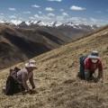 03 tibet fungus nomads hillside