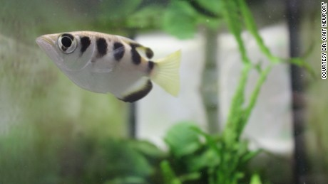 Fish can recognize human faces, study shows