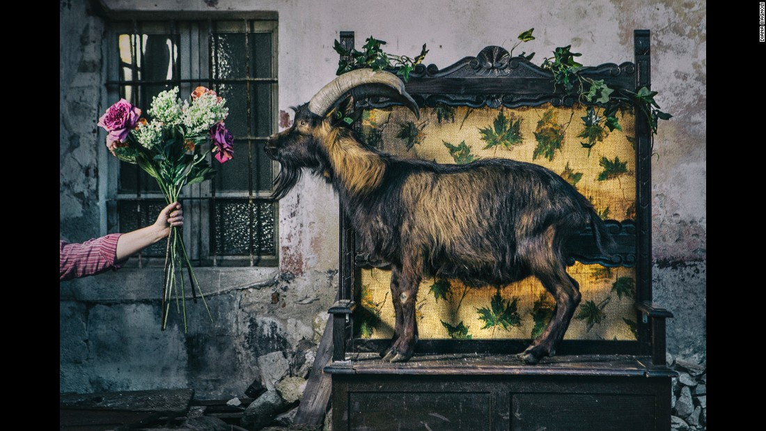 Flowers are given to a goat in Cuorgne, Italy.