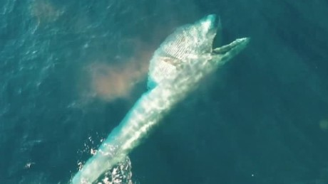 bryde whale feeding drone video cnn_00000603