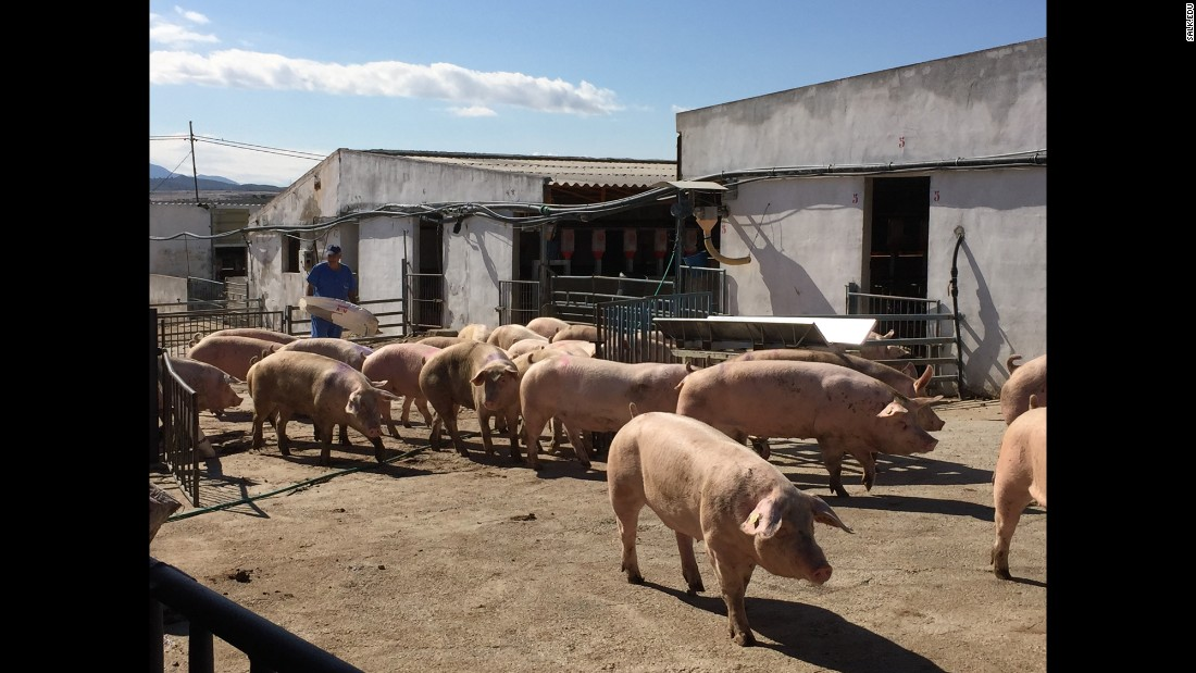 Pigs at the Agropor facility in Spain are being used in the chimera experiments.