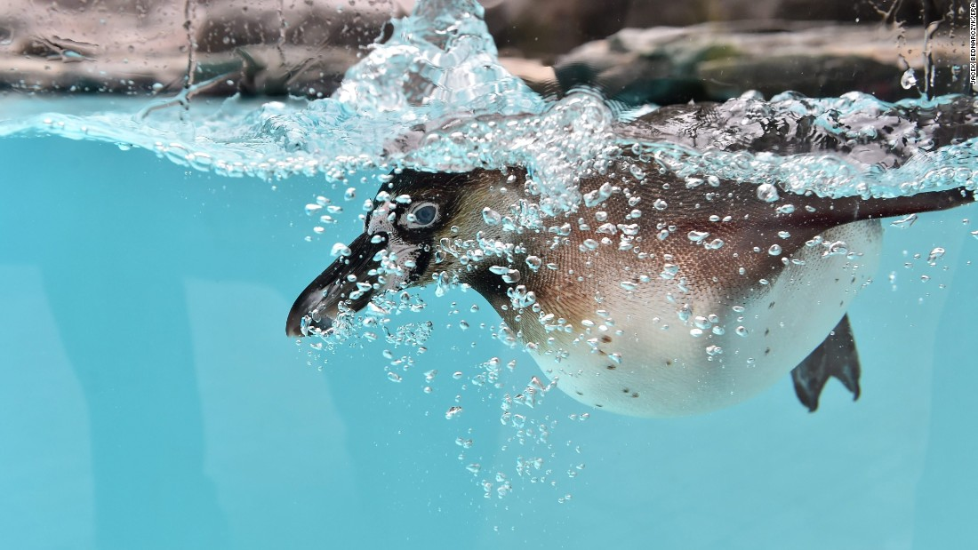 A penguin swims in its enclosure Friday, June 3, a few days after arriving at the Krakow Zoo in Krakow, Poland.