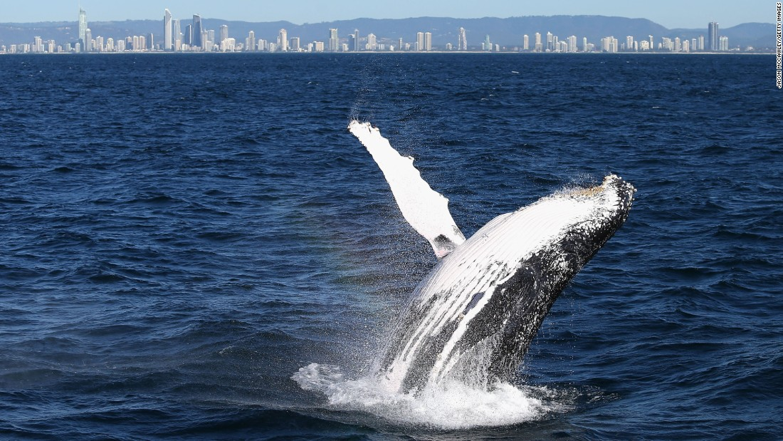 Whale sightings are common along Australia's east coast during the months of May to November as the animals travel north to breed in warmer waters.