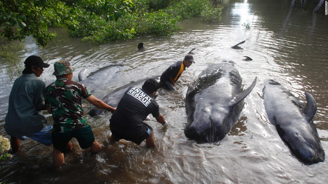 Officials pull dead whales ashore in Probolinggo, Indonesia, during a rescue operation for more than 30 stranded whales on Thursday, June 16. Most of the whales were sent back alive into the deep sea, an official said.