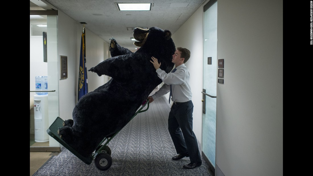 Kevin Travaline, a staff member for U.S. Sen. Jeanne Shaheen, moves a stuffed bear in Washington on Tuesday, June 14. The bear was part of the Experience New Hampshire event being held the next day at the Russell Senate Office Building.