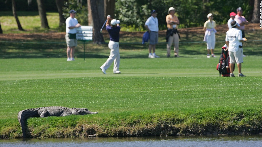 An alligator basks in the sun while a PGA Tour golf tournament takes place in Palm Harbor, Florida, in 2010.