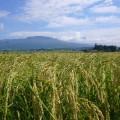 tohoku sake suehiro rice field
