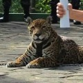 Rio Olympics jaguar stills