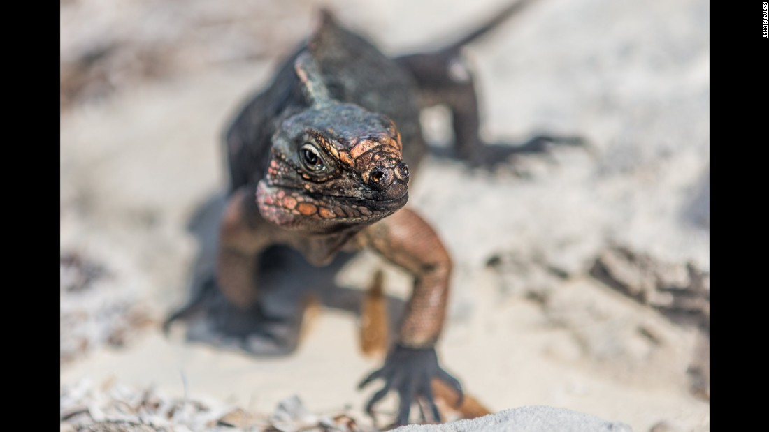 As you enjoy an afternoon snack, expect some visitors. The northern Bahamian rock iguanas curiously wander over these beaches. They are harmless, but it doesn't mean they aren't hungry.