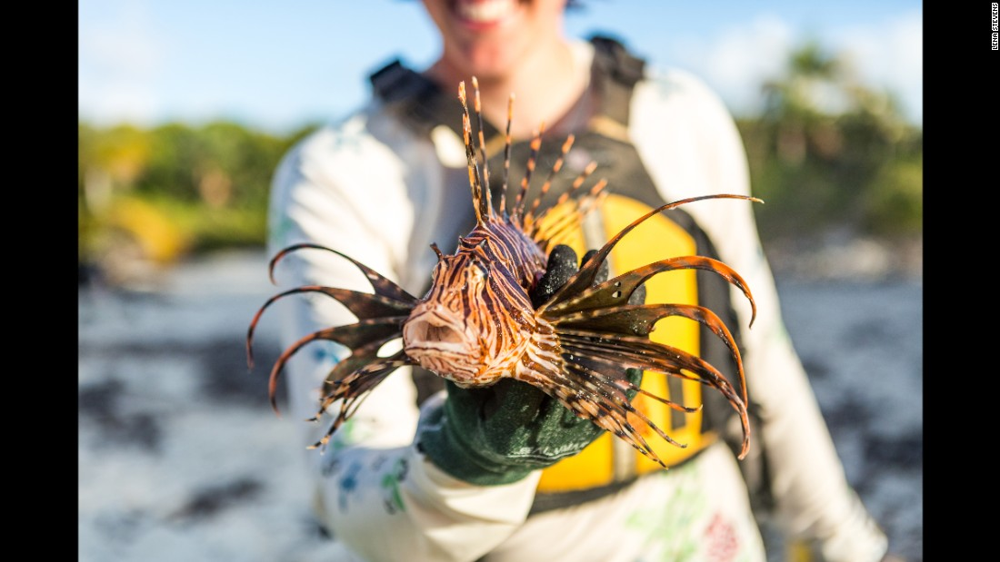 Although magical looking, the predatory lionfish, which are not native to the Bahamas, have been decimating Caribbean reefs. They'll eat just about anything they can swallow. People have been hunting them for food and sport, but the invaders remain a threat.