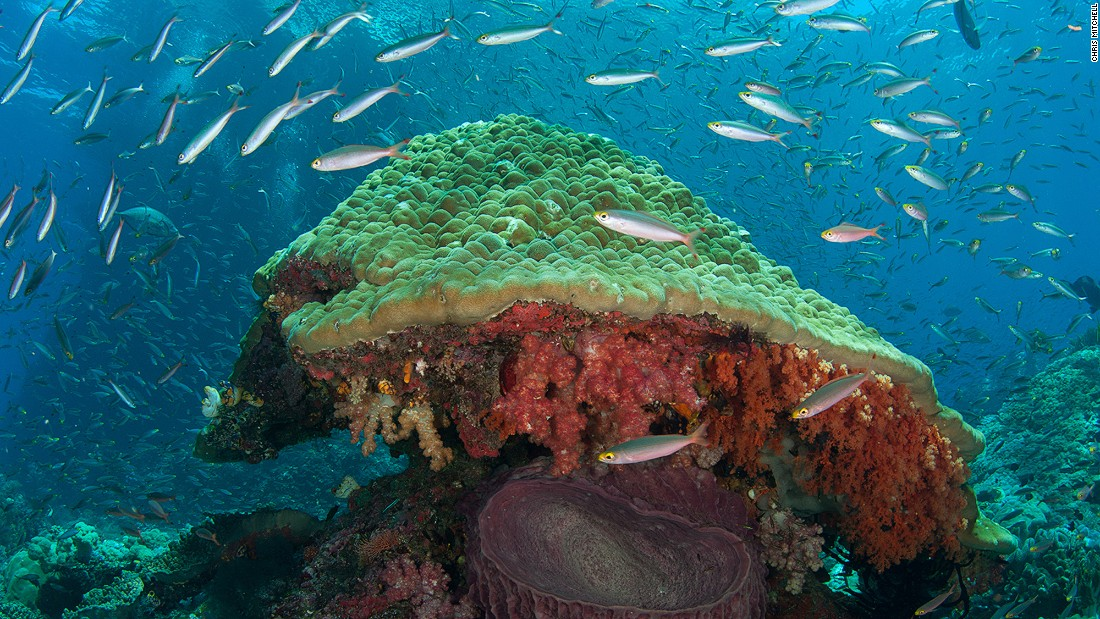 Fish love to gather around these giant mushroom-like coral bommies, which also provide shelter for the big barrel sponges that grow around their base.