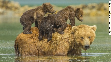 A mother bear takes a dip with her three youngsters.