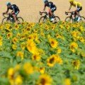 tdf sunflowers