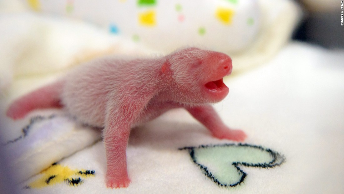 A newborn panda cub -- one of two twins -- is cared for at the Giant Panda Pavilion in Macau on Monday, June 27. The twins were born a day earlier. This one was underweight and had to be put in an incubator for intensive care.