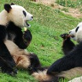 happiest places chengdu pandas