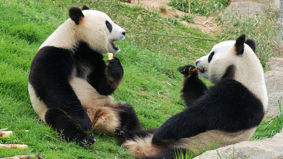 <strong>Giant Panda Research Base, Chengdu, China:</strong> The Giant Panda Research Base in Chengdu operates the most successful panda-breeding program in the world, with more than 80 pandas in residence.