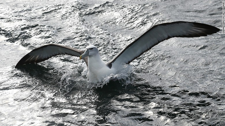 A mollymawk -- a type of albatross -- lands on water near Ulva Island.