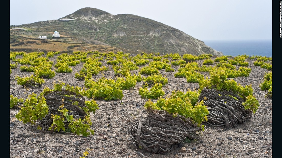 On Santorini, young vines are twisted to form a wreath with the grapes growing in the center to protect them from harsh winds that blow down the Aegean in winter.